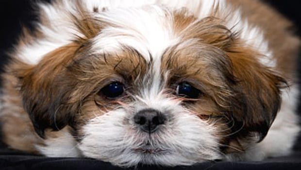 shih tzu vomiting 12 signs that your shih tzu may have cancer page 4 of 6 5920