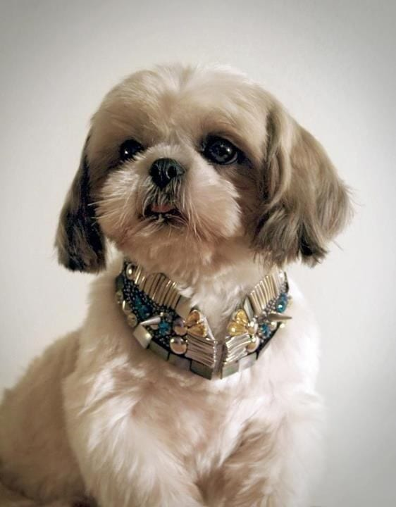 shih tzu with a bling