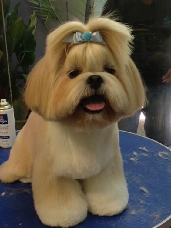 shih tzu with a cute hair