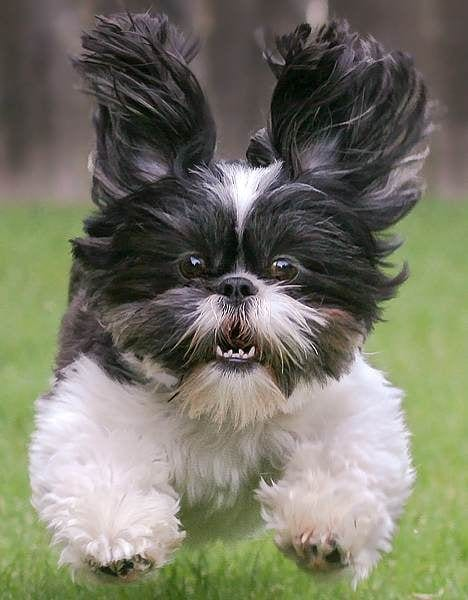4 Ways To Know Your Shih Tzu's Nature