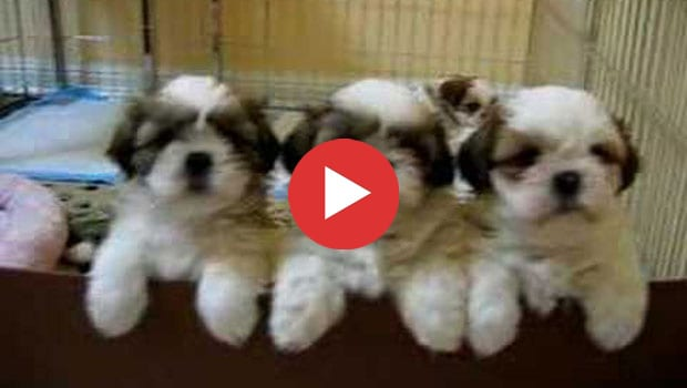 4 Insanely Cute Shih Tzu Puppies Shih Tzu Buzz
