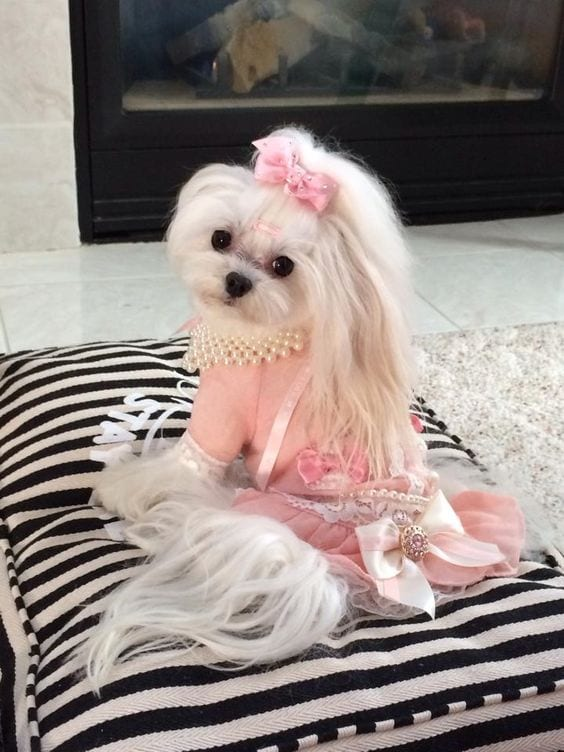 shih tzu with a pink outfit