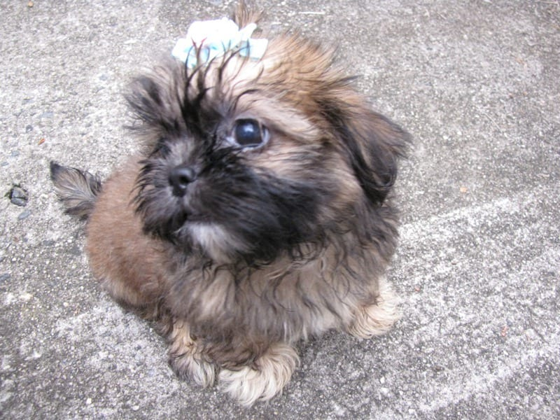 Lesions of the Skin without injury - Shih Tzu Cancer