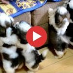 The Best Birthday Gift Ever - Shih Tzu Puppies!