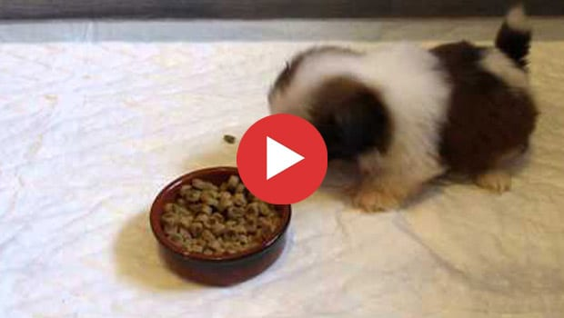Videos Archives Page 6 Of 6 Shih Tzu Buzz