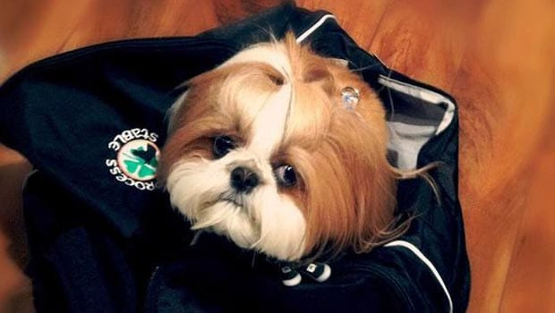 Shih Tzu Facts 15 Must Know Facts About Your Loving Shih Tzu