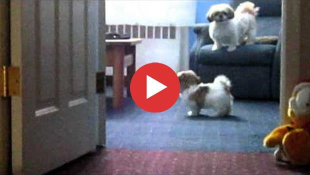 Two Adorable Shih Tzu Brothers Playing Together
