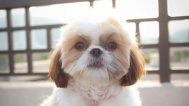 Shih Tzu Haircuts - Top 6 Beautiful Shih Tzu Haircuts ...