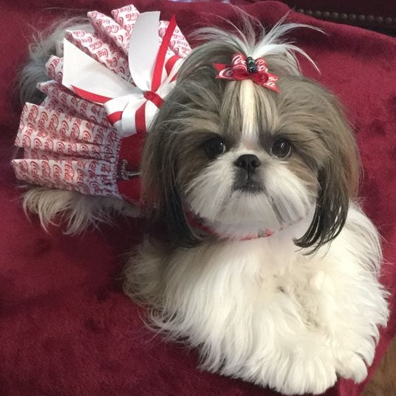 shih tzu puppy hair styles shih tzu haircut styles pictures haircuts models ideas 9446