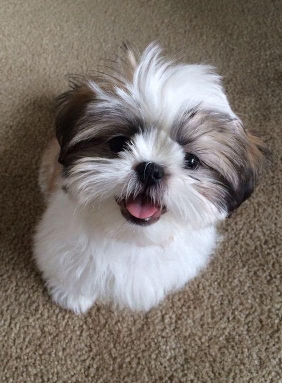 cuddly - Shih Tzu Names