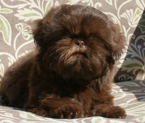 Lion breed - Facts about your loving Shih Tzu!