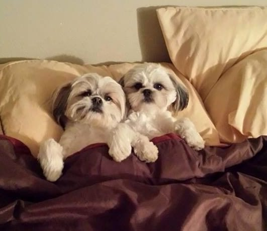 Humanly Snore -Facts about your loving Shih Tzu!