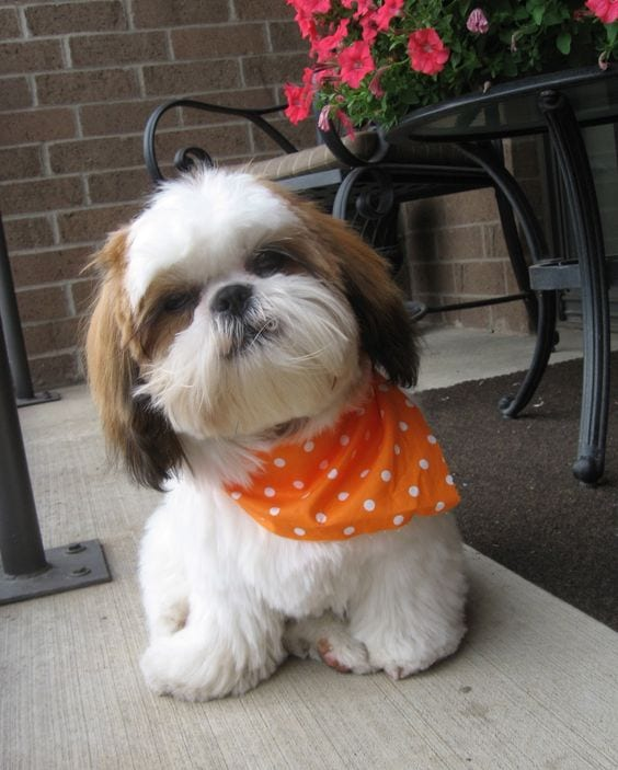 15 Must Know Facts about your loving Shih Tzu!