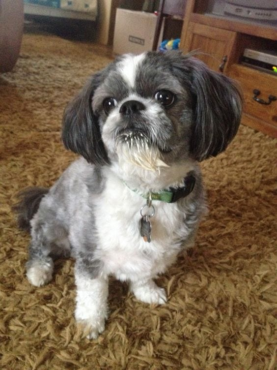Emotional shih tzu