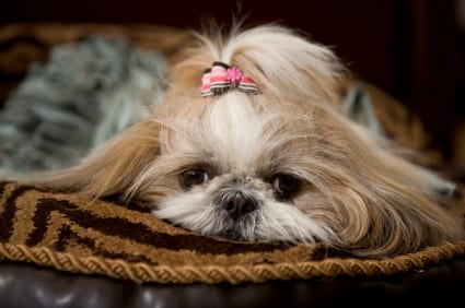 8 Reasons Why Shih Tzus Are The Best