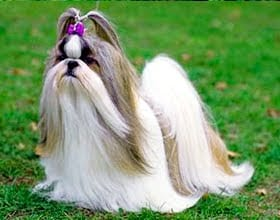 SHIH TZU - Traits and History!