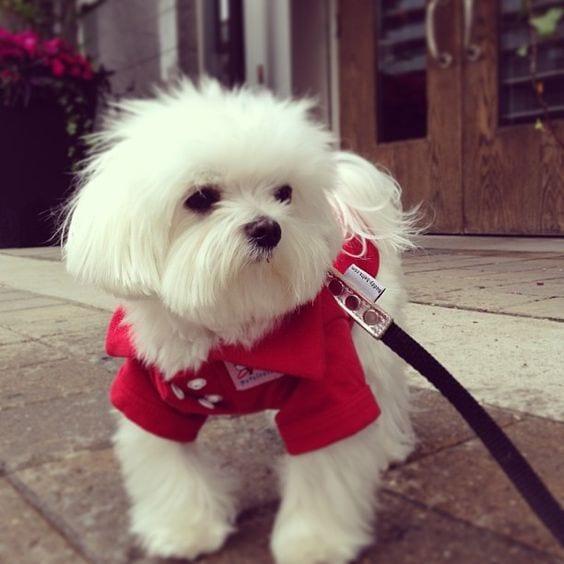 White shih tzu ready for a walk