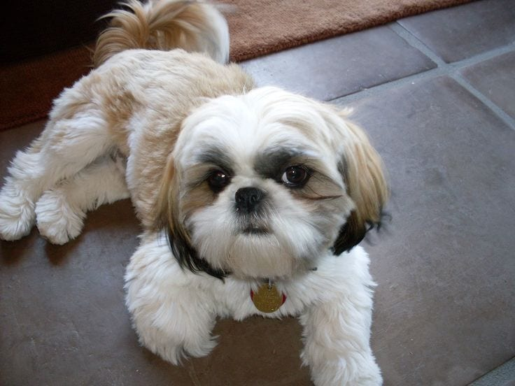 Aging Signs Every Shih Tzu Owner Needs To Look For