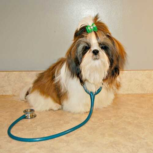 Shih Tzu Health Problems Symptoms