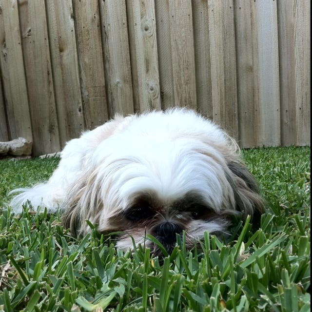 Hazy eyes - Aging Signs Every Shih Tzu Owner Needs To Look For