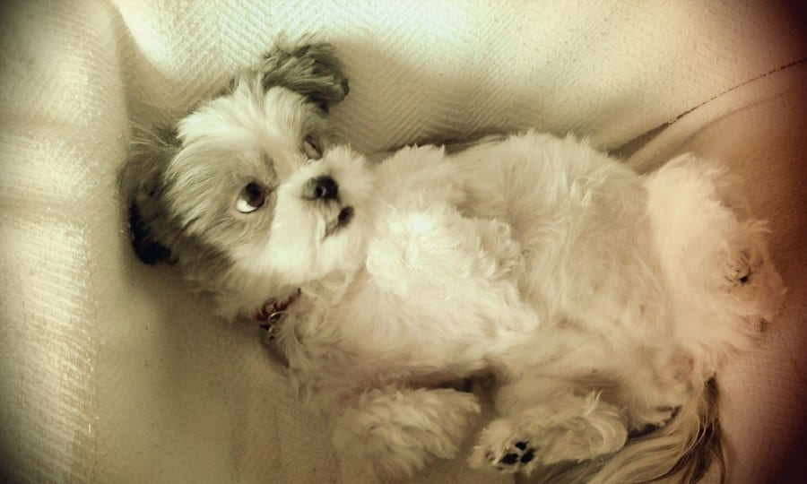 Cute Shih Tzu - belly rub