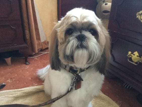 Unresponsive to your commands- Aging Signs Every Shih Tzu Owner Needs To Look For