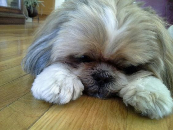 Slowing down -  Aging Signs Every Shih Tzu Owner Needs To Look For