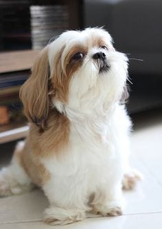 Difficulty while moving around - Aging Signs Every Shih Tzu Owner Needs To Look For
