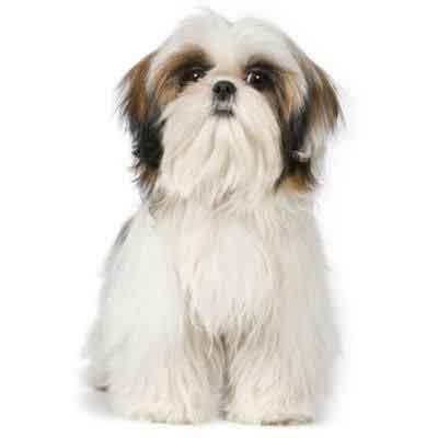 7 tips to groom your Shih Tzu