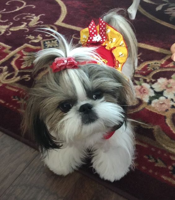 Choose your products wisely - 7 tips to groom your Shih Tzu