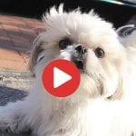 Fun Loving Shih Tzu Loves To Bark
