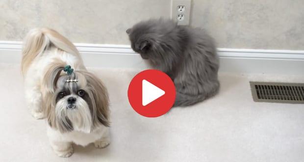 shih tzu and cat