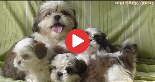 mini cachorros