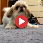 shih tzu attacks