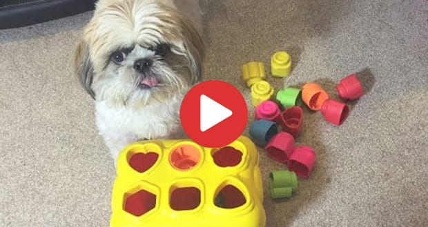 Shih Tzu doing tricks