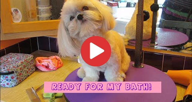how to properly bathe a shih tzu