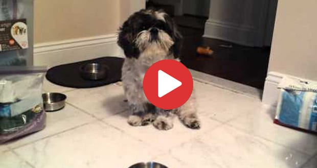 hungry shih tzu throws a tantrum