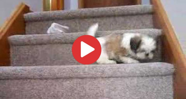 shih tzu climbing stairs