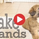 how to train shih tzu to shake hand