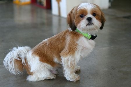Shih Tzu Cross Breeds