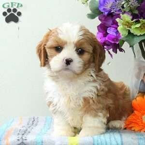 Cava-Tzu - Cavalier King Charles, Tzu Cross Breeds