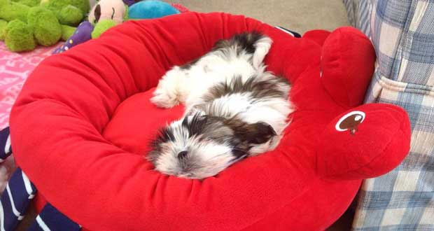 Bed for shih tzu