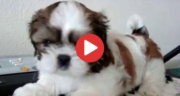 Shih Tzu Puppy on Piano