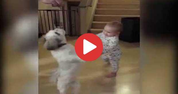 Baby Copies Shih Tzu