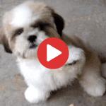 Shih Tzu puppy tricks