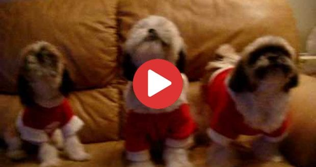 Shih Tzu Christmas Carols