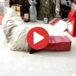 Shih Tzu Christmas Present