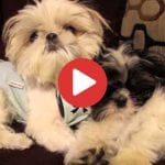 shih tzu puppies relax