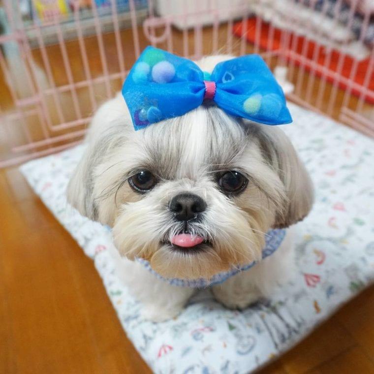 shih tzu with a big blue bow