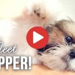 mini shih tzu puppy